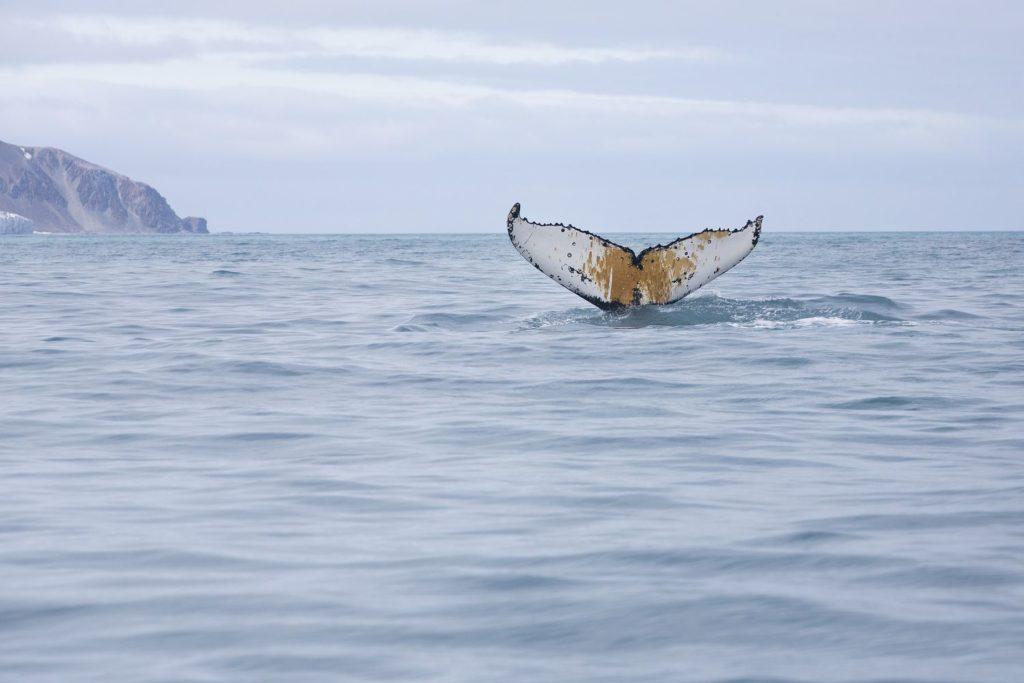 Baleia-jubarte em águas da Antárdita próximo à Ilha do Elefante, em 15 de janeiro. A bordo do navio, Arctic Sunrise, do Greenpeace. ABBIE TRAYLER-SMITH (Reprodução do El País)