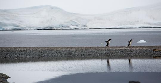 Pinguins-gentoo na Ilha Bombay, que pertence à Baía de Trinity, na Antártida. Local é um dos visitados na expedição do navio Arctic Sunrise, do Greenpeace. ABBIE TRAYLER-SMITH / GREENPEACE (Reprodução do El País)