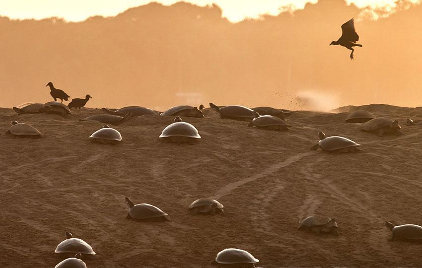 Vitória do Xingu, 15/10/2017 - Dentro da Reserva de desenvolvimento Sustentável (RDS) Vitória de Souzel, no município de Senador José Porfírio, o Tabuleiro do Embaúbal é conhecido por ser o ponto de desova das tartarugas do Xingu. Na verdade, as tartarugas empreendem uma viagem de cerca de 1.000km, desde a Ilha do Marajó para depositarem seus ovos nesse local sagrado para elas. Depois que nascem, as pequenas tartarugas fazem a viagem de volta a Marajó. E esse ciclo se repete pelos anos. Nossa personagem pricipal é a bióloga Cristiane Costa Carneiro, pesquisadora de quelônios, tem nesse ciclo vital objeto de seus estudos. Ela tem um auxiliar importante que é Luiz B. Cardoso Soares, um ribeirinho interessado e dedicado ao estudo das tartarugas. que passou a ser uma espécie de consultor da bióloga. Nesse nosso segundo dia de trabalho no tabuleiro, o material fotográfico é focado no nosso plantão de madrugada, para registrar o vai e vem das tartarugas, que vão se revesando para arranjar um local para a desova no areial, que, parece, vai ficando pequeno para tanta tartaruga, que, quando cava, acaba descobrindo ovos de outras mães. Nesse ponto os urubus vão cumprindo seu papel, fazendo a limpeza do loca, comendo os ovos descobertos. Foto: Lilo Clareto